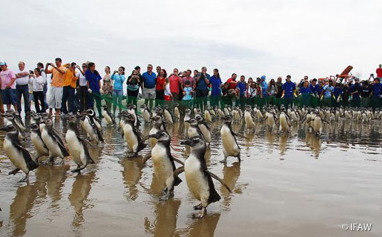 Penguins waddle back into the ocean