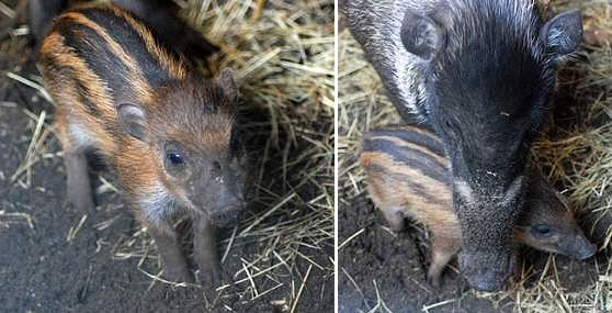 Visayan Warty Piglet and mother