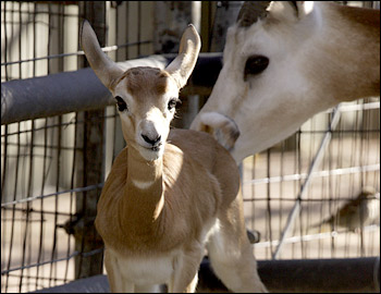 Baby dama gazelle