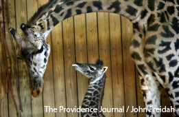 Newborn giraffe at Providence zoo