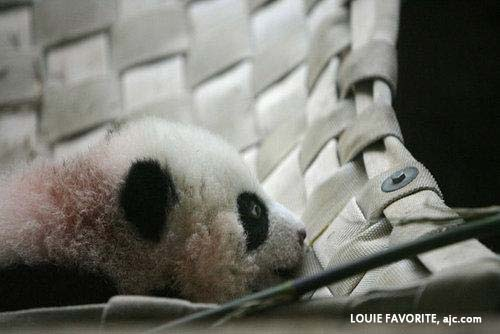 Xi Lan - panda cub  at Zoo Atlanta