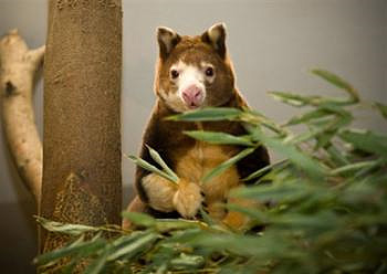 Milla, Matschie's tree kangaroo with twins