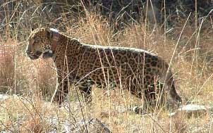 Jaguar in Arizona