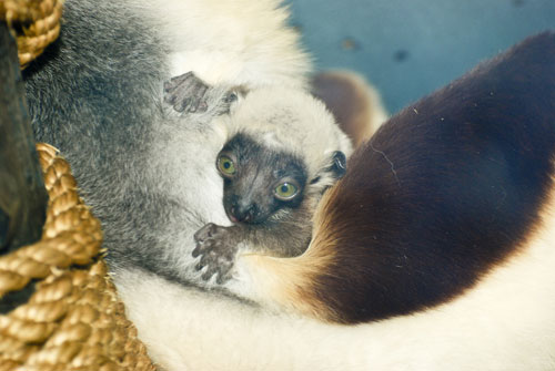 Baby lemur born at St. Louis Zoo
