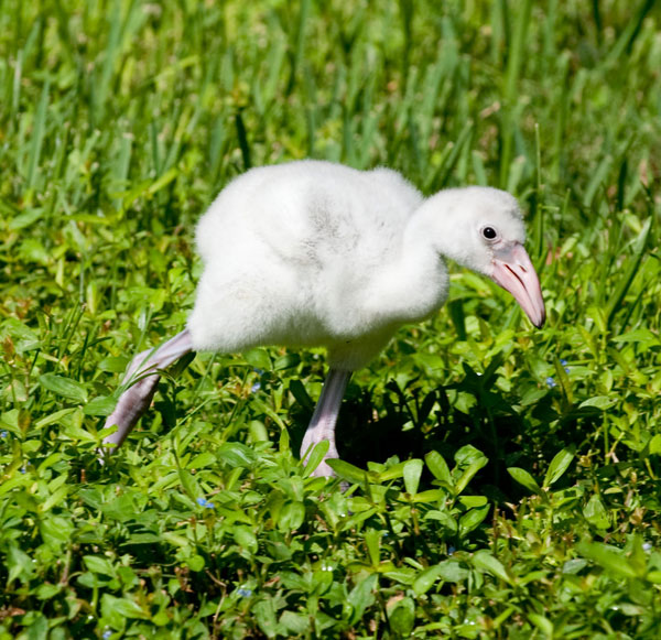 Walker the baby flamingo