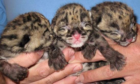 Clouded leopard cubs