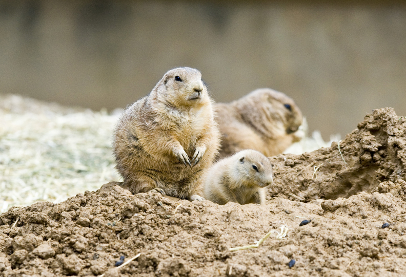 Prairie dogs at Maryland Zoo