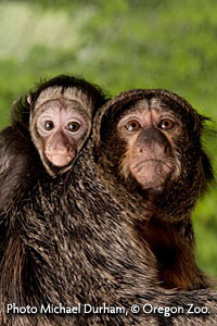 White-faced saki monkeys