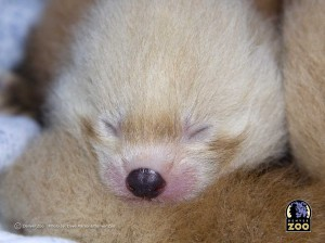 redpandababy
