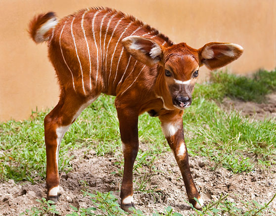 Baby Bongo