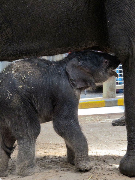 Asian elephant baby at Melbourne Zoo