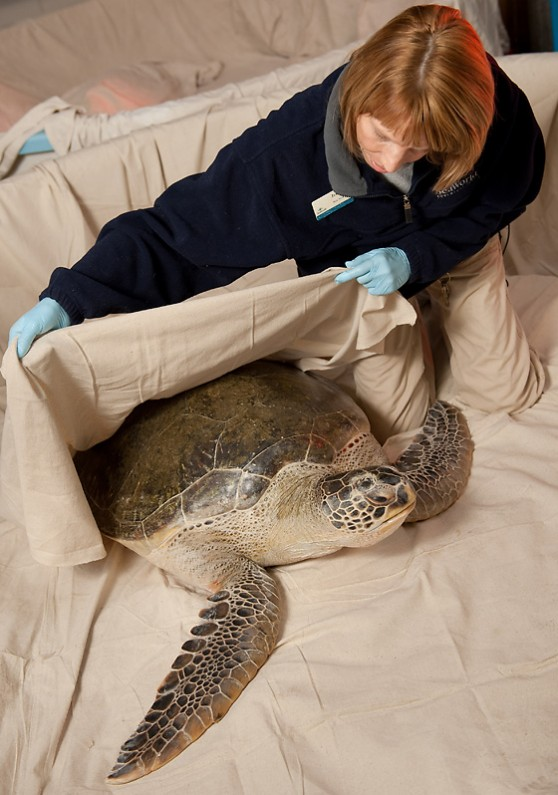 Aquarist rehabilitating green sea turtle.