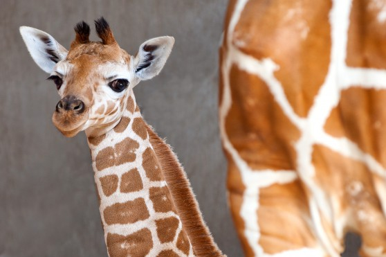 Baby giraffe at Busch Gardens