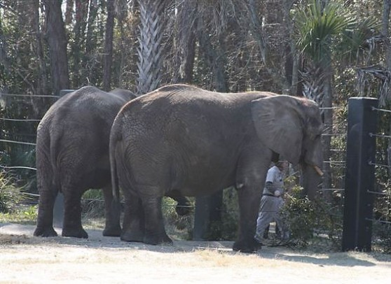 Elephants eating clippings at Jacksonville Zoo
