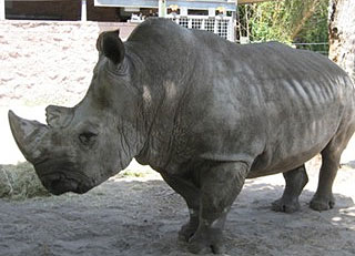 Archie the rhino