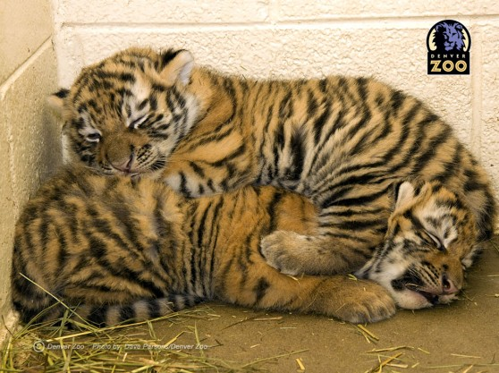 Amur tiger cubs at the Denver Zoo