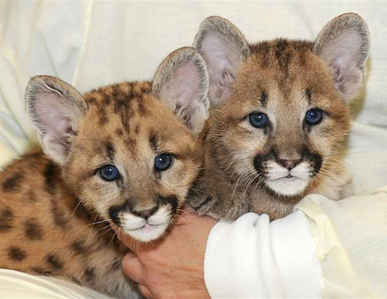 Cougar cubs at the Cincinnati Zoo