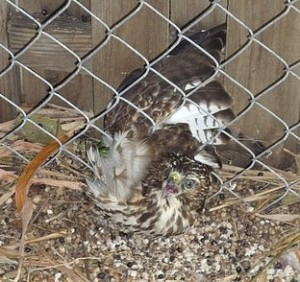 Hawk stuck in fence