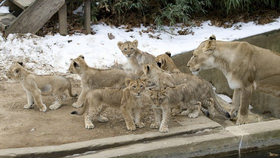 Lion cubs at the National Zoo