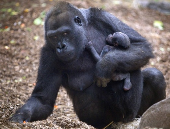 Gorilla and baby at Franklin Park Zoo
