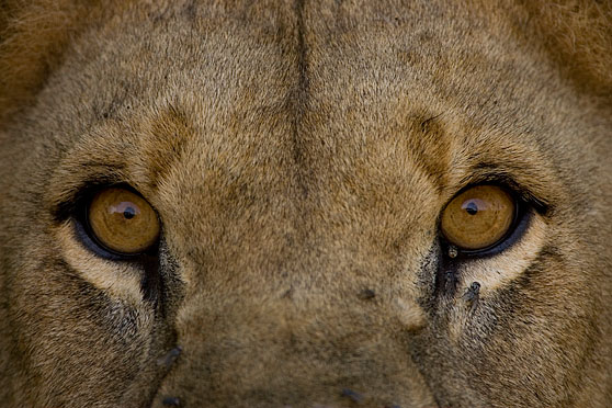 lion eyes