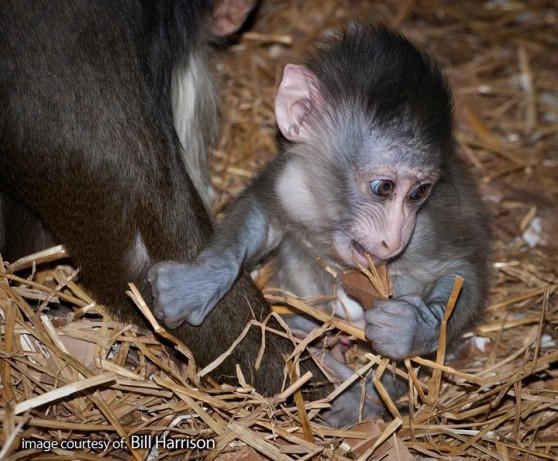 Baby mandrill at Potter Park Zoo