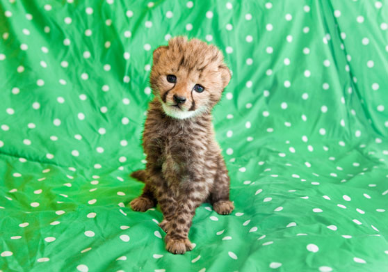cute baby cheetah running