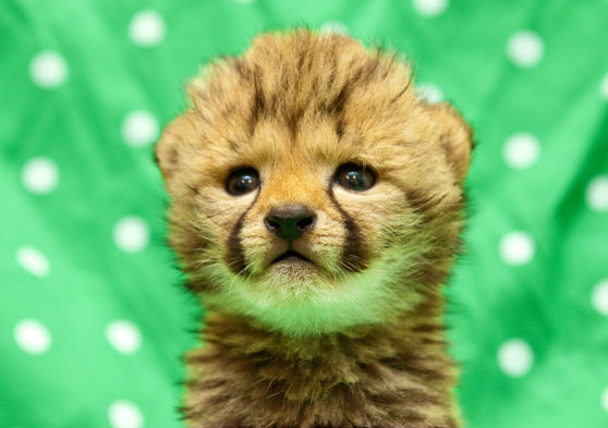 Baby Cheetah Archives Animal Fact Guide