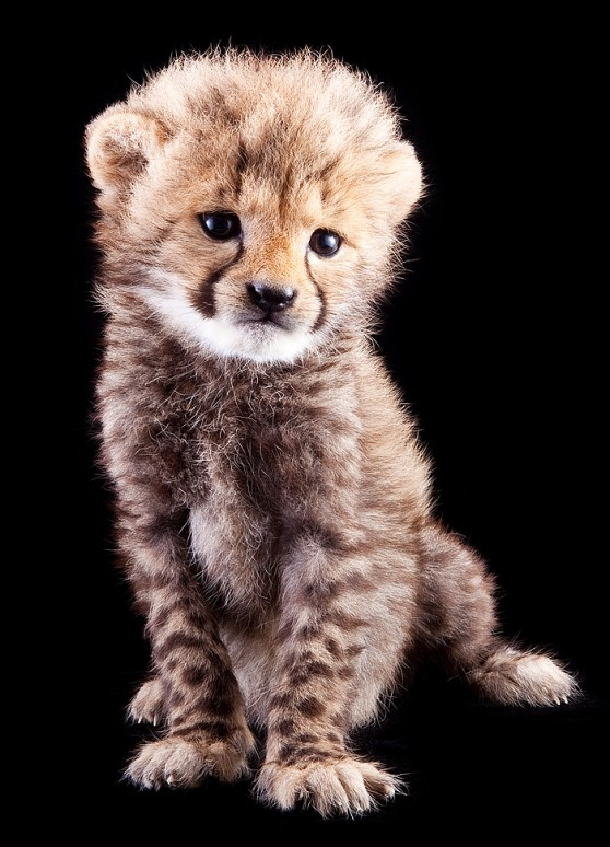 Baby Cheetah at Busch Gardens - Animal Fact Guide