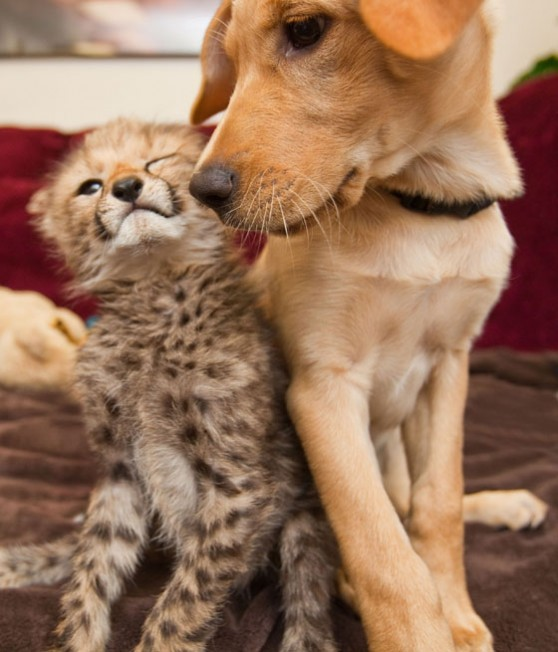 Cheetah cub and puppy friends