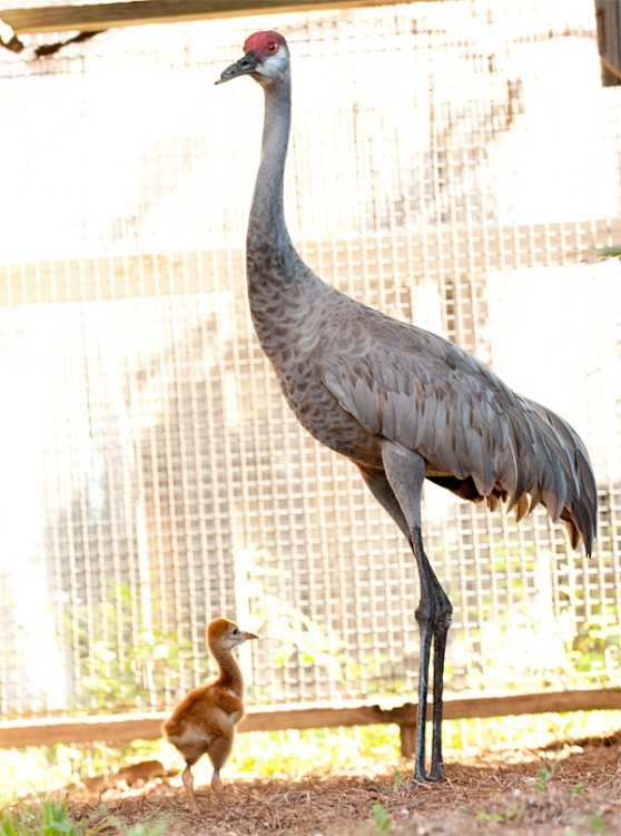 Sandhill crane rescues at SeaWorld
