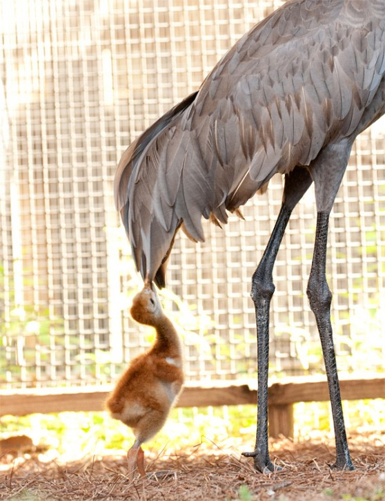 A sandhill crane chick tugs at the feathers of a rescued adult crane.