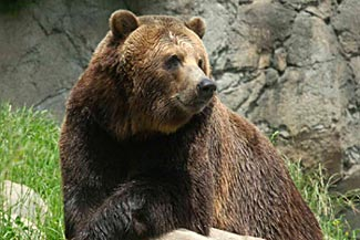 Grizzly bears at Woodland Park Zoo