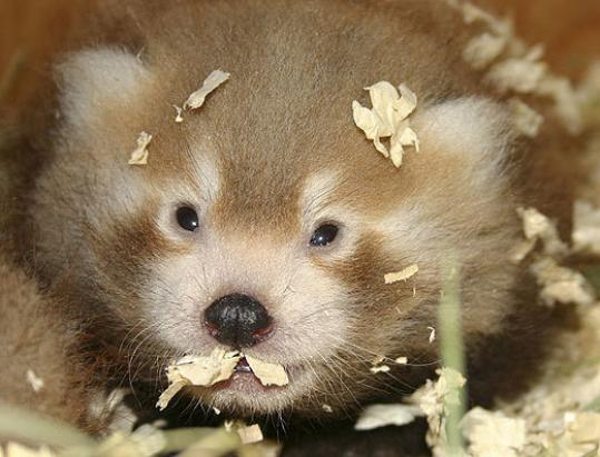 Red panda baby at Boston zoo