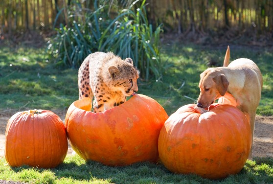 Cheetah and yellow lab investigating pumpkins