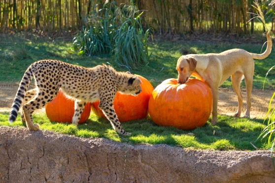 Cheetah and yellow lab looking at pumpkins