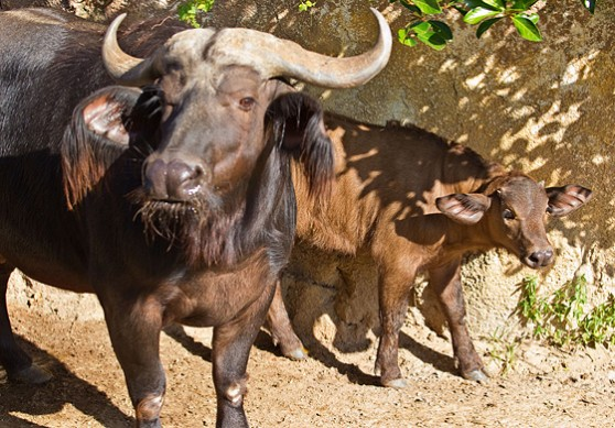 Cape buffalo baby and mother