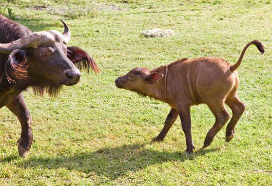 Baby Cape buffalo and mother