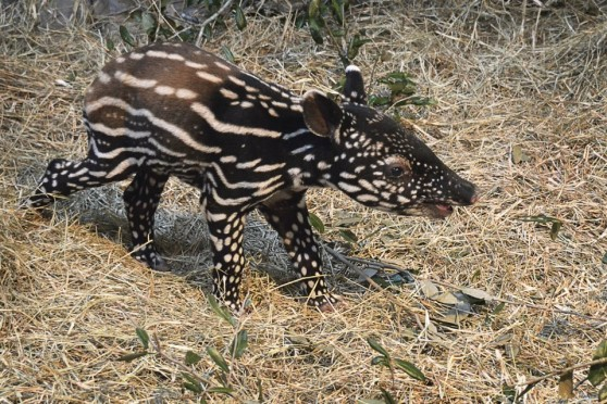 Baby Malayan tapir at Tampa zoo