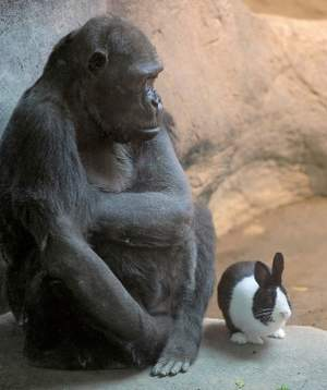 Gorilla and rabbit