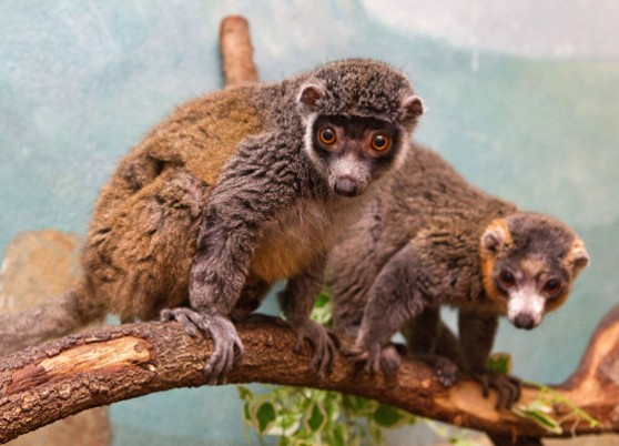 Mongoose lemurs