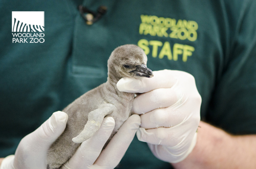 Penguin chick at the Woodland Park Zoo