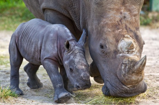 Baby white rhino at Busch Gardens