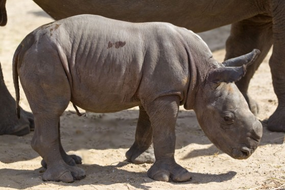 Baby white rhino