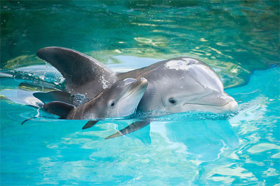 Dolphin calf and mother