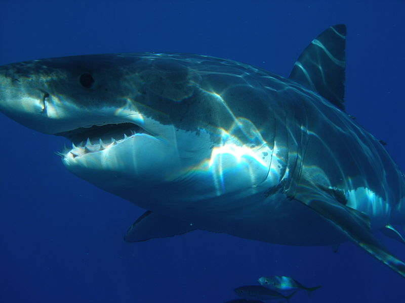 Great White Shark Jaw Size
