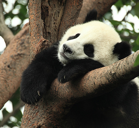 Panda on branch