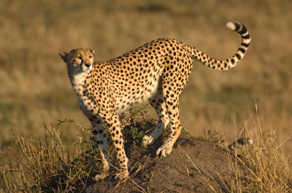 Cheetah Facts for Kids | Big Cats | African Animals