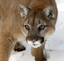 Cougar Facts | Puma | Mountain Lion | Panther