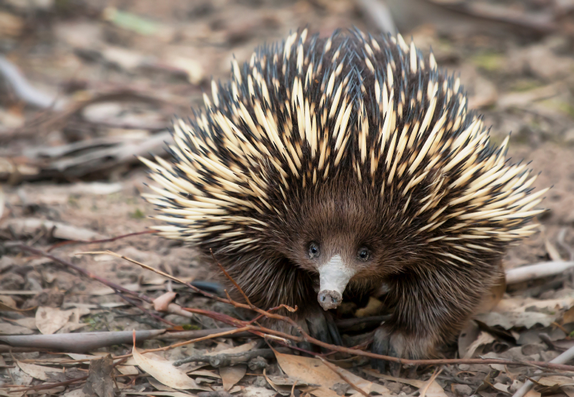 Howlong Australia  city pictures gallery : Short beaked Echidna Facts | Australian Animals